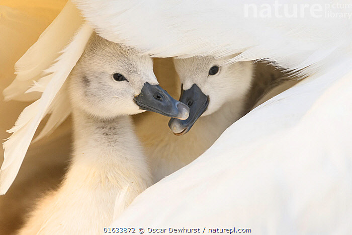 Mute swan (Cygnus olor), two cygnets sheltering under parent's wing. Richmond Park, London, England, UK. April., Animal,Wildlife,Vertebrate,Bird,Birds,Water fowl,Waterfowl,True swan,Mute swan,Animalia,Animal,Wildlife,Vertebrate,Aves,Bird,Birds,Anseriformes,Water fowl,Galloanserans,Waterfowl,Anatidae,Cygnus,True swan,Swan,Cygninae,Anserinae,Cygnus olor,Mute swan,Sheltering,Sibling,Siblings,Cute,Adorable,Colour,White,Two,Europe,Western Europe,UK,Great Britain,England,London,Greater London,Inner London,Copy Space,Young Animal,Baby,Chick,Cygnet,Cygnets,Animal Behaviour,Brooding,Parental behaviour,Family,Behaviour,Parental,Two animals,Negative space,Behavioural,Wildfowl, Oscar Dewhurst