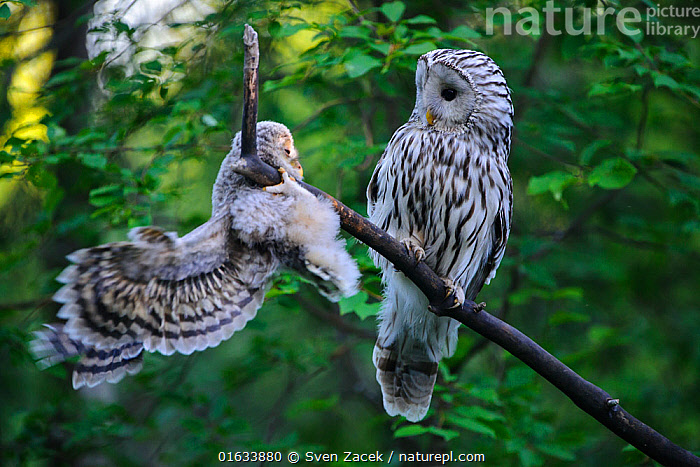 Ural owl (Strix uralensis) female watching fledgling learning to climb and balance on branch. Owlet's first day out of nest. Tartumaa County, Southern Estonia. June.  ,  Animal,Wildlife,Vertebrate,Bird,Birds,Owl,Ural owl,Catalogue13,Animalia,Animal,Wildlife,Vertebrate,Aves,Bird,Birds,Strigiformes,Owl,Bird of prey,Strigidae,Striginae,Strix,Strix uralensis,Ural owl,Ural wood owl,Alertness,Balance,Two,Europe,Eastern Europe,East Europe,Baltic Countries,Estonia,Young Animal,Baby,Chick,Fledgling,Owlet,Owlets,Animal Behaviour,Parental behaviour,Family,Parental,Two animals,Tartumaa,Catalogue13,Parenting,Animals,Vertebrates,Chordates,Owls,Birds of prey,True owls,Typical owls,Baltic States,Young Animals,Baby Animals,Baby Birds,Young Birds,Chicks,Families,Babies,Animal,Wildlife,Vertebrate,Bird,Birds,Owl,Ural owl  ,  Sven  Zacek