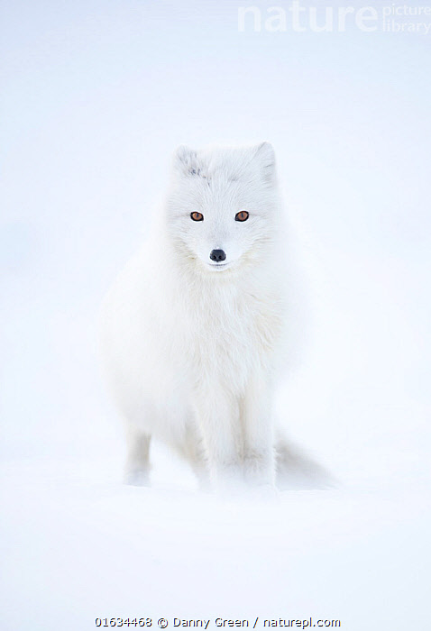 RF - Arctic fox (Alopex lagopus) in winter pelage, camouflaged in snow. Svalbard, Norway, April (This image may be licensed either as rights managed or royalty free.)  ,  Arctic,Camouflage,Colour,White,Temperature,Cold,Europe,Northern Europe,North Europe,Nordic Countries,Scandinavia,Norway,Svalbard,Copy Space,Animal,Animal Eye,Eyes,Animal Nose,Snow,Winter,Nature,Colour-phases,Winter coat,Direct Gaze,Negative space,RF,Royalty free,Arctic,,RF,Royalty free,,,RF5,,,eye contact,  ,  Danny Green