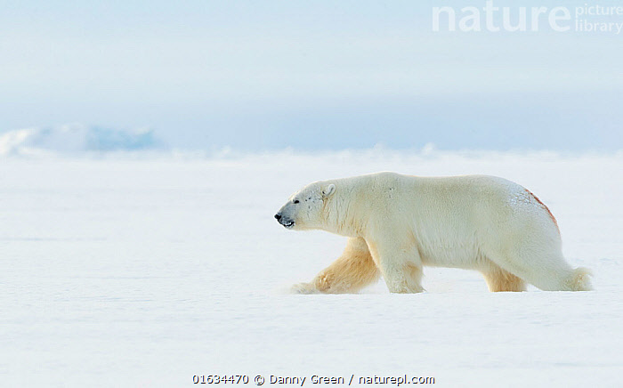 RF - Polar bear (Ursus maritimus) male walking through snow. Svalbard, Norway, April. (This image may be licensed either as rights managed or royalty free.), Animal,Wildlife,Vertebrate,Mammal,Carnivore,Bear,Polar bear,Arctic,Animalia,Animal,Wildlife,Vertebrate,Mammalia,Mammal,Carnivora,Carnivore,Ursidae,Bear,Ursus,Ursus maritimus,Polar bear,Ursus labradorensis,Ursus marinus,Ursus polaris,Walking,Colour,White,Europe,Northern Europe,North Europe,Nordic Countries,Scandinavia,Norway,Svalbard,Copy Space,Side View,Male Animal,Snow,Winter,Nature,Negative space,Moving,RF,Royalty free,Arctic,Movement,Endangered species,threatened,Vulnerable, Danny Green