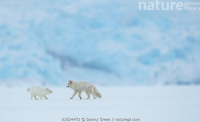 Arctic fox (Vulpes lagopus), two in snow covered landscape. Svalbard, Norway, April 2019., Animal,Wildlife,Vertebrate,Mammal,Carnivore,Canid,True fox,Arctic fox,Arctic,Animalia,Animal,Wildlife,Vertebrate,Mammalia,Mammal,Carnivora,Carnivore,Canidae,Canid,Vulpes,True fox,Vulpini,Caninae,Vulpes lagopus,Arctic fox,Polar fox,Blue fox,Ice fox,White fox,Alopex lagopus,Canis lagopus,Walking,Two,Europe,Northern Europe,North Europe,Nordic Countries,Scandinavia,Norway,Svalbard,Ice,Snow,Winter,Two animals,Moving,Arctic,Movement,, Danny Green