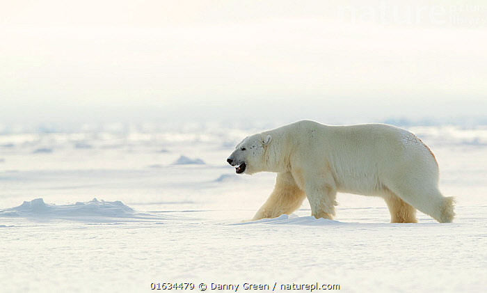 Polar bear (Ursus maritimus) male walking across frozen landscape. Svalbard, Norway, April 2019.  ,  Animal,Wildlife,Vertebrate,Mammal,Carnivore,Bear,Polar bear,Arctic,Animalia,Animal,Wildlife,Vertebrate,Mammalia,Mammal,Carnivora,Carnivore,Ursidae,Bear,Ursus,Ursus maritimus,Polar bear,Ursus labradorensis,Ursus marinus,Ursus polaris,Walking,Frozen,Europe,Northern Europe,North Europe,Nordic Countries,Scandinavia,Norway,Svalbard,Male Animal,Mouth,Ice,Snow,Winter,Moving,Open Mouth,Arctic,Movement,Endangered species,threatened,Vulnerable  ,  Danny Green