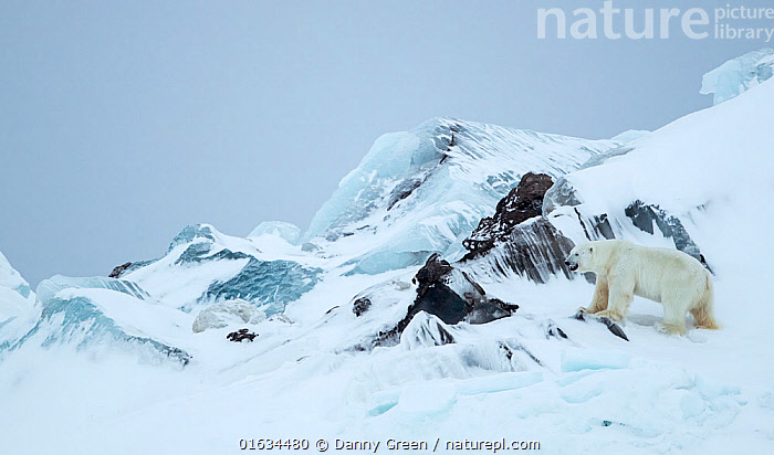 Polar bear (Ursus maritimus) male standing beside rocks in frozen and snow covered landscape. Svalbard, Norway, April 2019., Animal,Wildlife,Vertebrate,Mammal,Carnivore,Bear,Polar bear,Arctic,Animalia,Animal,Wildlife,Vertebrate,Mammalia,Mammal,Carnivora,Carnivore,Ursidae,Bear,Ursus,Ursus maritimus,Polar bear,Ursus labradorensis,Ursus marinus,Ursus polaris,Frozen,Temperature,Cold,Europe,Northern Europe,North Europe,Nordic Countries,Scandinavia,Norway,Svalbard,Copy Space,Male Animal,Ice,Snow,Landscape,Negative space,Arctic,Endangered species,threatened,Vulnerable, Danny Green
