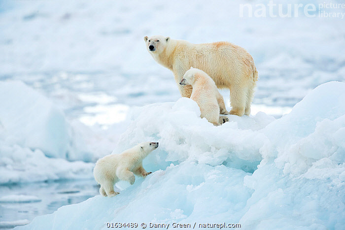 Polar bear (Ursus maritimus) female and cubs, one cub walking up slope of ice in foreground. Svalbard, Norway, July.  ,  Animal,Wildlife,Vertebrate,Mammal,Carnivore,Bear,Polar bear,Arctic,Animalia,Animal,Wildlife,Vertebrate,Mammalia,Mammal,Carnivora,Carnivore,Ursidae,Bear,Ursus,Ursus maritimus,Polar bear,Ursus labradorensis,Ursus marinus,Ursus polaris,Frozen,Few,Three,Group,Europe,Northern Europe,North Europe,Nordic Countries,Scandinavia,Norway,Svalbard,Young Animal,Baby,Baby Mammal,Cub,Ice,Ocean,Arctic Ocean,Marine,Water,Cold Water,Family,Mother baby,Saltwater,Mother,Sea,Coldwater,Parent baby,Three Animals,Female and offspring,Sea ice,Barents Sea,Arctic,Endangered species,threatened,Vulnerable  ,  Danny Green