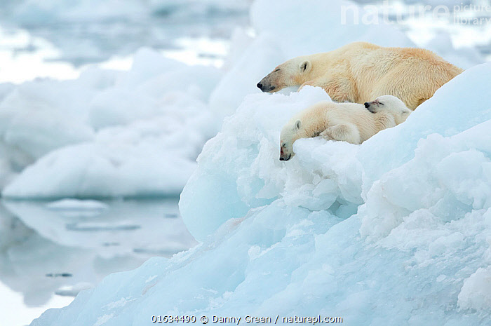Polar bear (Ursus maritimus) and cubs resting on sea ice. Svalbard, Norway, July., Animal,Wildlife,Vertebrate,Mammal,Carnivore,Bear,Polar bear,Arctic,Animalia,Animal,Wildlife,Vertebrate,Mammalia,Mammal,Carnivora,Carnivore,Ursidae,Bear,Ursus,Ursus maritimus,Polar bear,Ursus labradorensis,Ursus marinus,Ursus polaris,Resting,Rest,Frozen,Few,Three,Group,Europe,Northern Europe,North Europe,Nordic Countries,Scandinavia,Norway,Svalbard,Young Animal,Baby,Baby Mammal,Cub,Ice,Ocean,Arctic Ocean,Marine,Water,Cold Water,Family,Mother baby,Saltwater,Mother,Sea,Coldwater,Parent baby,Three Animals,Female and offspring,Sea ice,Barents Sea,Arctic,Endangered species,threatened,Vulnerable, Danny Green