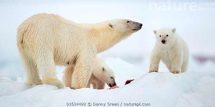Polar bear (Ursus maritimus) and two cubs feeding on Whale carcass. Svalbard, Norway, July., Animal,Wildlife,Vertebrate,Mammal,Carnivore,Bear,Polar bear,Arctic,Animalia,Animal,Wildlife,Vertebrate,Mammalia,Mammal,Carnivora,Carnivore,Ursidae,Bear,Ursus,Ursus maritimus,Polar bear,Ursus labradorensis,Ursus marinus,Ursus polaris,Few,Three,Group,Europe,Northern Europe,North Europe,Nordic Countries,Scandinavia,Norway,Svalbard,Young Animal,Baby,Baby Mammal,Cub,Ice,Family,Mother baby,Mother,Parent baby,Three Animals,Female and offspring,Arctic,Endangered species,threatened,Vulnerable, Danny Green