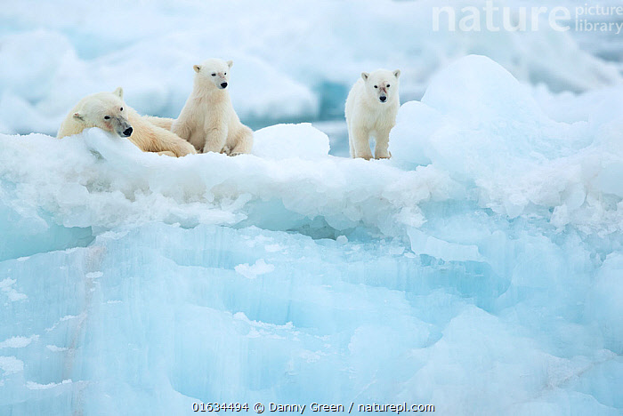 Polar bear (Ursus maritimus) female resting with cubs on glacier. Svalbard, Norway, July.  ,  Animal,Wildlife,Vertebrate,Mammal,Carnivore,Bear,Polar bear,Arctic,Animalia,Animal,Wildlife,Vertebrate,Mammalia,Mammal,Carnivora,Carnivore,Ursidae,Bear,Ursus,Ursus maritimus,Polar bear,Ursus labradorensis,Ursus marinus,Ursus polaris,Resting,Rest,Few,Three,Group,Temperature,Cold,Europe,Northern Europe,North Europe,Nordic Countries,Scandinavia,Norway,Svalbard,Young Animal,Baby,Baby Mammal,Cub,Ice,Glacier,Family,Mother baby,Mother,Parent baby,Three Animals,Female and offspring,Arctic,Endangered species,threatened,Vulnerable  ,  Danny Green