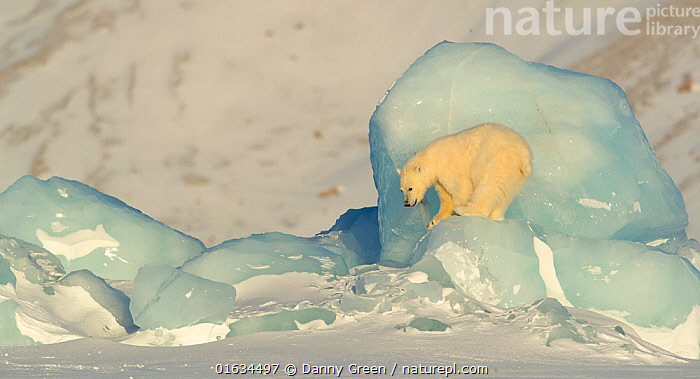 Polar bear (Ursus maritimus) cub ready to jump down from pack ice. Svalbard, Norway, April., Animal,Wildlife,Vertebrate,Mammal,Carnivore,Bear,Polar bear,Arctic,Animalia,Animal,Wildlife,Vertebrate,Mammalia,Mammal,Carnivora,Carnivore,Ursidae,Bear,Ursus,Ursus maritimus,Polar bear,Ursus labradorensis,Ursus marinus,Ursus polaris,Preparation,Europe,Northern Europe,North Europe,Nordic Countries,Scandinavia,Norway,Svalbard,Young Animal,Baby,Baby Mammal,Cub,Ice,Snow,Winter,Sea ice,Arctic,Endangered species,threatened,Vulnerable, Danny Green
