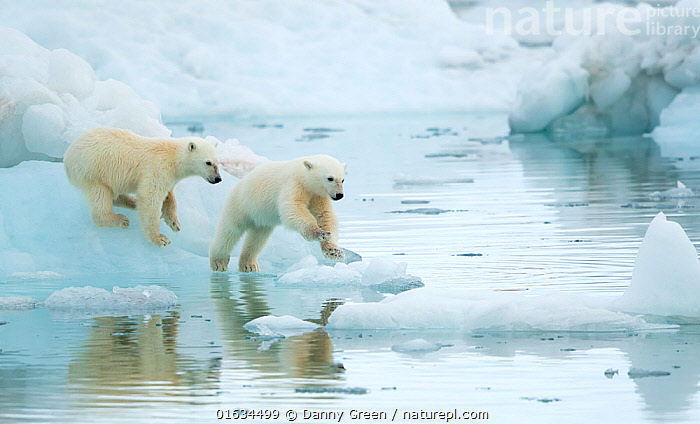 Polar bear (Ursus maritimus), two cubs playing, leaping across sea ice, reflected in water. Svalbard, Norway, July., Animal,Wildlife,Vertebrate,Mammal,Carnivore,Bear,Polar bear,Arctic,Animalia,Animal,Wildlife,Vertebrate,Mammalia,Mammal,Carnivora,Carnivore,Ursidae,Bear,Ursus,Ursus maritimus,Polar bear,Ursus labradorensis,Ursus marinus,Ursus polaris,Jumping,Sibling,Siblings,Two,Europe,Northern Europe,North Europe,Nordic Countries,Scandinavia,Norway,Svalbard,Young Animal,Baby,Baby Mammal,Cub,Ice,Ocean,Arctic Ocean,Marine,Water,Animal Behaviour,Playing,Family,Behaviour,Saltwater,Play,Playful,Two animals,Moving,Sea ice,Barents Sea,Behavioural,Arctic,Movement,Endangered species,threatened,Vulnerable, Danny Green
