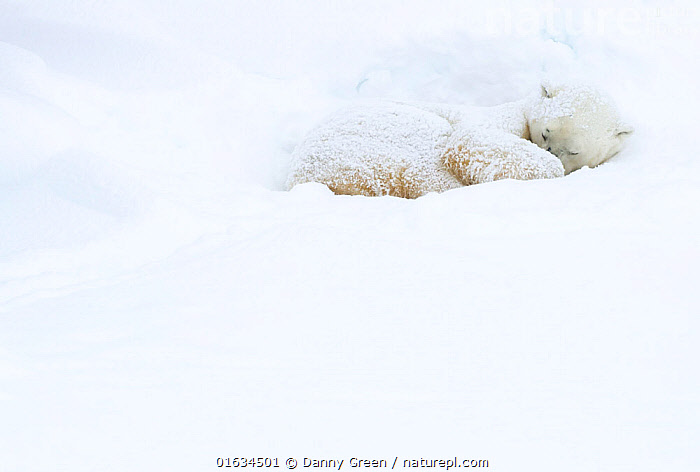 Polar bear (Ursus maritimus) sleeping in snow. Churchill, Manitoba, Canada, November.  ,  Animal,Wildlife,Vertebrate,Mammal,Carnivore,Bear,Polar bear,Animalia,Animal,Wildlife,Vertebrate,Mammalia,Mammal,Carnivora,Carnivore,Ursidae,Bear,Ursus,Ursus maritimus,Polar bear,Ursus labradorensis,Ursus marinus,Ursus polaris,Resting,Rest,Sleeping,Temperature,Cold,North America,Canada,Manitoba,Copy Space,Snow,Negative space,Churchill,Endangered species,threatened,Vulnerable  ,  Danny Green