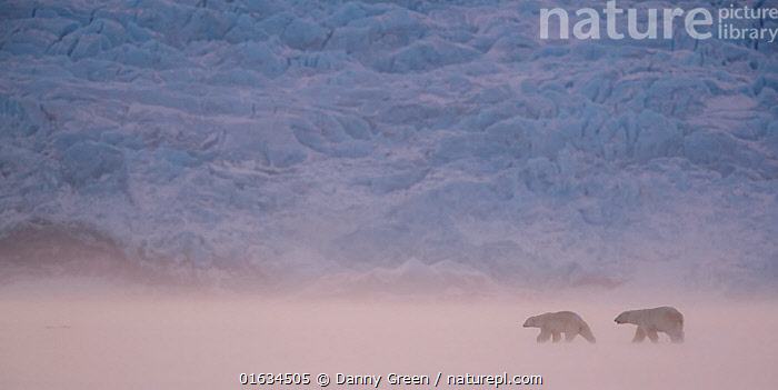 Polar bear (Ursus maritimus) two walking in snowy landscape. Svalbard, Norway, April 2018., Animal,Wildlife,Vertebrate,Mammal,Carnivore,Bear,Polar bear,Arctic,Animalia,Animal,Wildlife,Vertebrate,Mammalia,Mammal,Carnivora,Carnivore,Ursidae,Bear,Ursus,Ursus maritimus,Polar bear,Ursus labradorensis,Ursus marinus,Ursus polaris,Walking,Two,Europe,Northern Europe,North Europe,Nordic Countries,Scandinavia,Norway,Svalbard,Back Lit,Ice,Snow,Winter,Silhouette,Two animals,Moving,Arctic,Movement,Endangered species,threatened,Vulnerable, Danny Green