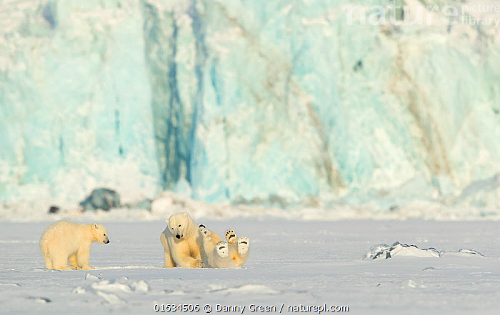 Polar bear (Ursus maritimus) female and cubs play fighting. Svalbard, Norway, March 2018., Animal,Wildlife,Vertebrate,Mammal,Carnivore,Bear,Polar bear,Arctic,Animalia,Animal,Wildlife,Vertebrate,Mammalia,Mammal,Carnivora,Carnivore,Ursidae,Bear,Ursus,Ursus maritimus,Polar bear,Ursus labradorensis,Ursus marinus,Ursus polaris,Play Fight,Play Fighting,Play Fights,Europe,Northern Europe,North Europe,Nordic Countries,Scandinavia,Norway,Svalbard,Young Animal,Baby,Baby Mammal,Cub,Ice,Snow,Animal Behaviour,Playing,Family,Mother baby,Behaviour,Mother,Play,Playful,Parent baby,Female and offspring,Behavioural,Arctic,Endangered species,threatened,Vulnerable, Danny Green