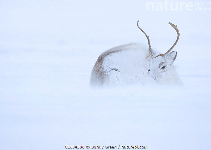 Reindeer (Rangifer tarandus) hunkering down in snow during blizzard. Svalbard, Norway, April.  ,  Animal,Wildlife,Vertebrate,Mammal,Deer,Caribou,Arctic,Animalia,Animal,Wildlife,Vertebrate,Mammalia,Mammal,Artiodactyla,Even-toed ungulates,Cervidae,Deer,True deer,ruminantia,Ruminant,Rangifer,Rangifer tarandus,Caribou,Reindeer,Lying down,Resting,Rest,Temperature,Cold,Europe,Northern Europe,North Europe,Nordic Countries,Scandinavia,Norway,Svalbard,Copy Space,Snow,Weather,Snowing,Snowfall,Blizzard,Winter,Negative space,Arctic,  ,  Danny Green