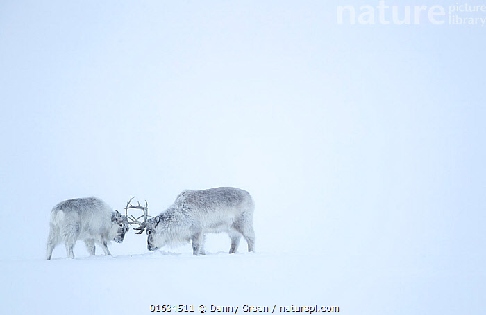 Reindeer (Rangifer tarandus), two play fighting in snow. Svalbard, Norway, April.  ,  Animal,Wildlife,Vertebrate,Mammal,Deer,Caribou,Arctic,Animalia,Animal,Wildlife,Vertebrate,Mammalia,Mammal,Artiodactyla,Even-toed ungulates,Cervidae,Deer,True deer,ruminantia,Ruminant,Rangifer,Rangifer tarandus,Caribou,Reindeer,Play Fight,Play Fighting,Play Fights,Colour,White,Two,Europe,Northern Europe,North Europe,Nordic Countries,Scandinavia,Norway,Svalbard,Copy Space,Snow,Winter,Animal Behaviour,Playing,Behaviour,Play,Playful,Two animals,Negative space,Behavioural,Arctic,  ,  Danny Green