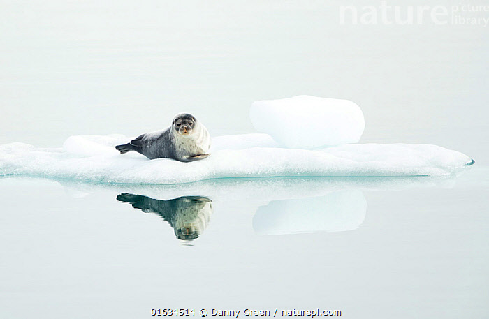 Ringed seal (Pusa hispida) resting on ice, reflected in water. Svalbard, Norway. July.  ,  Animal,Wildlife,Vertebrate,Mammal,Carnivore,True seal,Fjord Seal,Arctic,Animalia,Animal,Wildlife,Vertebrate,Mammalia,Mammal,Carnivora,Carnivore,Phocidae,True seal,Pinnipeds,pinnipedia,Pusa,Pusa hispida,Fjord Seal,Jar Seal,Ringed Seal,Phoca hispida,Resting,Rest,Europe,Northern Europe,North Europe,Nordic Countries,Scandinavia,Norway,Svalbard,Copy Space,Reflection,Ice,Ocean,Arctic Ocean,Marine,Water,Saltwater,Sea,Negative space,Sea ice,Hauled out,Barents Sea,Arctic,Marine  ,  Danny Green