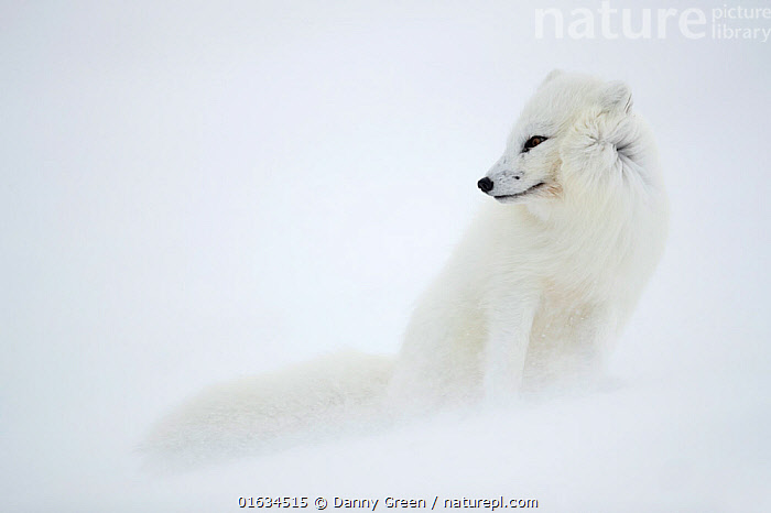 Arctic fox (Alopex lagopus) in winter pelage, camouflaged in snow. Svalbard, Norway, April., Arctic,Sitting,Camouflage,Facial Expression,Smiling,Europe,Northern Europe,North Europe,Nordic Countries,Scandinavia,Norway,Svalbard,Copy Space,Animal,Snow,Winter,Colour-phases,Winter coat,Negative space,Arctic,, Danny Green