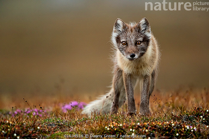 Arctic fox (Alopex lagopus) standing in tundra. Svalbard, Norway, July., Arctic,Standing,Europe,Northern Europe,North Europe,Nordic Countries,Scandinavia,Norway,Svalbard,Copy Space,Animal,Colour-phases,Summer coat,Direct Gaze,Negative space,Arctic,, Danny Green