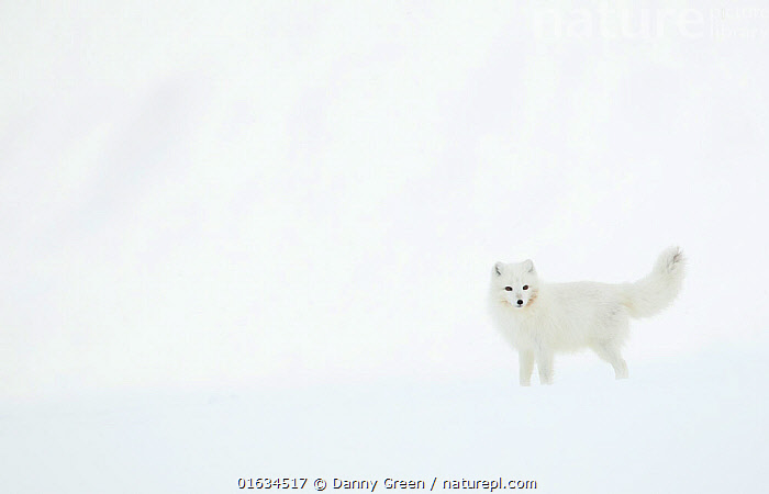 Arctic fox (Alopex lagopus) in snow. Svalbard, Norway. April.  ,  Arctic,Standing,Camouflage,Colour,White,Europe,Northern Europe,North Europe,Nordic Countries,Scandinavia,Norway,Svalbard,Copy Space,Animal,Snow,Winter,Colour-phases,Winter coat,Negative space,Arctic,  ,  Danny Green