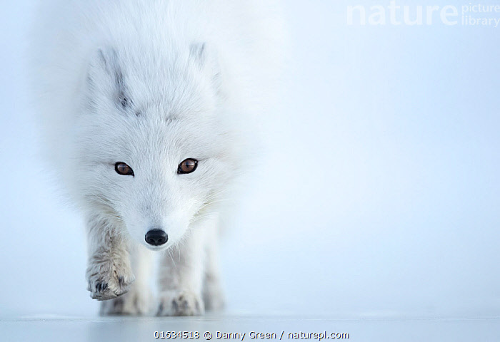 Arctic fox (Alopex lagopus) camouflaged in winter pelage. Svalbard, Norway, April., Arctic,Camouflage,Colour,White,Europe,Northern Europe,North Europe,Nordic Countries,Scandinavia,Norway,Svalbard,Copy Space,Animal,Animal Eye,Eyes,Winter,Colour-phases,Winter coat,Direct Gaze,Negative space,Arctic,, Danny Green