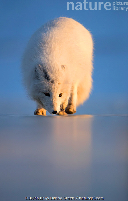Arctic fox (Alopex lagopus) following scent, in winter pelage. Svalbard, Norway. April., Arctic,Walking,Smelling,Sniffing,Europe,Northern Europe,North Europe,Nordic Countries,Scandinavia,Norway,Svalbard,Copy Space,Animal,Winter,Colour-phases,Winter coat,Negative space,Moving,Using Senses,Arctic,Movement,, Danny Green