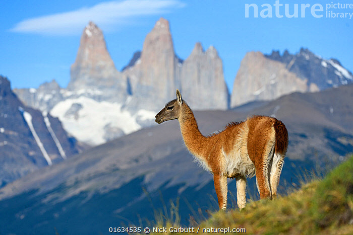Guanaco (Lama guanicoe) standing, towers of Torres del Paine National Park in background. Patagonia, Chile. December 2018., Standing,Latin America,South America,Chile,Patagonia,Mountain,Summit,Landscape,Habitat,Torres del Paine,Torres del Paine National Park,, Nick Garbutt