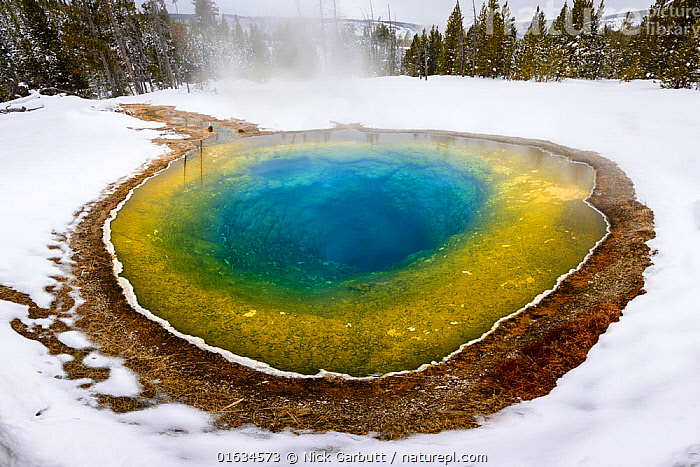 Morning Glory thermal pool surrounded by snow, coniferous forest in background. Near Daisy Geyser Basin, Yellowstone National Park, USA. January 2019., American,Colour,Colourful,North America,USA,Western USA,Hot Spring,Snow,Steam,Steaming,Landscape,Winter,Water,Reserve,Geothermal features,Geothermal,Protected area,National Park,Yellowstone National Park,American,United States of America,, Nick Garbutt