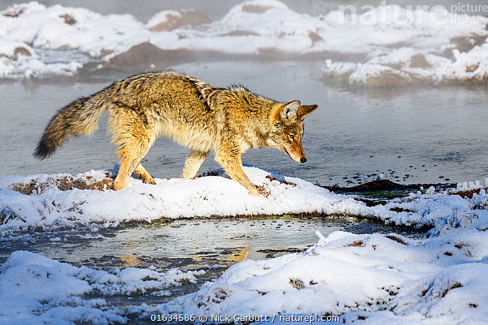 Coyote (Canis latrans) foraging in snow. Hayden Valley, Yellowstone National Park, USA. January 2019., Animal,Wildlife,Vertebrate,Mammal,Carnivore,Canid,Coyote,American,Animalia,Animal,Wildlife,Vertebrate,Mammalia,Mammal,Carnivora,Carnivore,Canidae,Canid,Canis,Canis latrans,Coyote,American Jackal,Brush Wolf,Prairie Wolf,Walking,North America,USA,Western USA,Side View,Snow,Winter,Freshwater,Water,Reserve,Protected area,National Park,Yellowstone National Park,Moving,Hayden Valley,American,United States of America,Movement,, Nick Garbutt