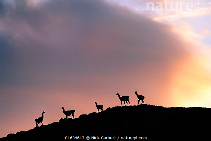 Guanacos (Lama guanicoe), five silhouetted on slope in evening. Torres del Paine National Park, Patagonia, Chile. December.  ,  Animal,Wildlife,Vertebrate,Mammal,Camelid,Llama,Guanaco,Animalia,Animal,Wildlife,Vertebrate,Mammalia,Mammal,Artiodactyla,Even-toed ungulates,Camelidae,Camelid,Tylopoda,Lama,Llama,Lama guanicoe,Guanaco,glama guanicoe,Lama fera,Lama guanaco,Lama huanaca,Group Of Animals,Group,Medium Group,Sloping,Latin America,South America,Chile,Patagonia,Copy Space,Back Lit,Sky,Cloud,Reserve,Silhouette,Protected area,National Park,Negative space,Torres del Paine,Torres del Paine National Park,  ,  Nick Garbutt