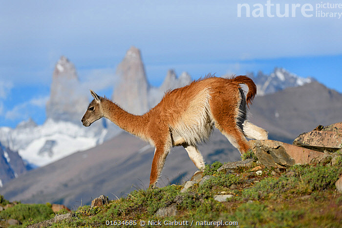 RF - Guanaco (Lama guanicoe) walking down slope with mountain towers of Paine in background, Torres del Paine National Park, Patagonia, Chile. December 2018. (This image may be licensed either as rights managed or royalty free.)  ,  Animal,Wildlife,Vertebrate,Mammal,Camelid,Llama,Guanaco,Animalia,Animal,Wildlife,Vertebrate,Mammalia,Mammal,Artiodactyla,Even-toed ungulates,Camelidae,Camelid,Tylopoda,Lama,Llama,Lama guanicoe,Guanaco,glama guanicoe,Lama fera,Lama guanaco,Lama huanaca,Walking,Latin America,South America,Chile,Patagonia,Profile,Side View,Mountain,Summit,Landscape,Nature,Habitat,Reserve,Protected area,National Park,Moving,Gradient,Downhill,RF,Royalty free,Movement,Torres del Paine National Park,  ,  Nick Garbutt