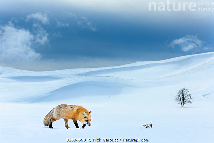 RF - Red fox (Vulpes vulpes) foraging in snow covered valley. Hayden Valley, Yellowstone National Park, USA. February 2019. (This image may be licensed either as rights managed or royalty free.), Animal,Wildlife,Vertebrate,Mammal,Carnivore,Canid,True fox,Red fox,American,Animalia,Animal,Wildlife,Vertebrate,Mammalia,Mammal,Carnivora,Carnivore,Canidae,Canid,Vulpes,True fox,Vulpini,Caninae,Vulpes vulpes,Red fox,Foraging,Walking,Temperature,Cold,North America,USA,Western USA,Snow,Landscape,Winter,Nature,Reserve,Protected area,National Park,Yellowstone National Park,Moving,American,Lone,United States of America,RF,Royalty free,Movement,, Nick Garbutt