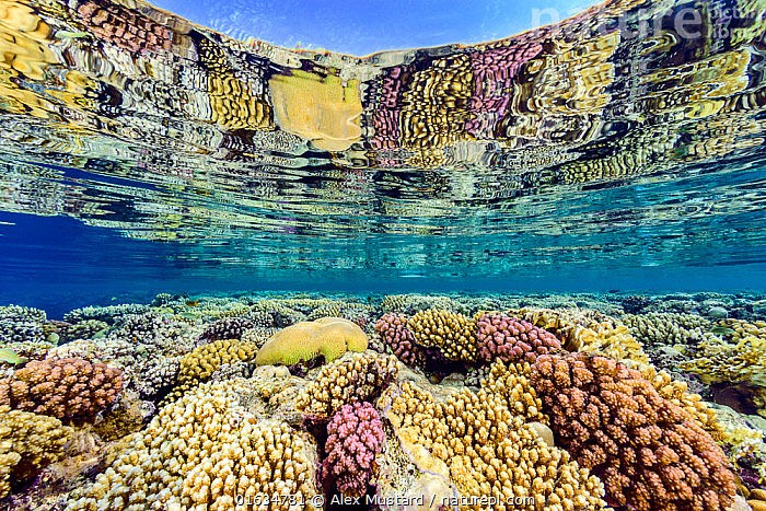 Hard corals (including Acropora sp., Platygyra sp. and Pocillopora spp.) growing in shallow water and reflected in the surface. Ras Umm Sid, Sharm El Sheikh, Sinai, Egypt. Red Sea  ,  Animal,Wildlife,Cnidarian,Anthrozoan,Hard coral,Coral,Acropora coral,Animalia,Animal,Wildlife,Cnidaria,Cnidarian,Coelentrerata,Anthozoa,Anthrozoan,Scleractinia,Hard coral,Acroporidae,Coral,Acropora,Acropora coral,Pocilloporidae,Pocillopora,Faviidae,Platygyra,Africa,North Africa,Northern Africa,Egypt,Tropical,Red Sea,Marine,Underwater,Split level,Water,Saltwater,Sea,Sinai,Sharm El Sheikh,Invertebrate,Invertebrates,Marine  ,  Alex Mustard