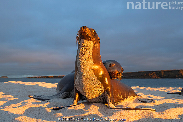 Galapagos sea lion (Zalophus wollebaeki), two on beach, front of sea lion covered in sand, in morning light. Mosquera Islet, Galapagos., Animal,Wildlife,Vertebrate,Mammal,Carnivore,Eared seal,Sealion,Galapagos sealion,Animalia,Animal,Wildlife,Vertebrate,Mammalia,Mammal,Carnivora,Carnivore,Otaridae,Eared seal,Otary,Otarid,Pinniped,Pinnipedia,Zalophus,Sealion,Zalophus wollebaeki,Galapagos sealion,Two,Latin America,South America,Galapagos Islands,Galapagos,Sands,Coast,Coastal,Biodiversity hotspot,Two animals,Galapagos National Park,UNESCO World Heritage Site,Marine,Endangered species,threatened,Endangered, Tui De Roy