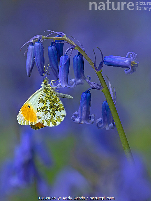 Orange tip butterfly (Anthocharis cardamines) on bluebell flower in English woodland, Hertfordshire, England, UK, April., Animal,Wildlife,Arthropod,Insect,Butterfly,Orangetip,Orange tip,Animalia,Animal,Wildlife,Hexapoda,Arthropod,Invertebrate,Hexapod,Arthropoda,Insecta,Insect,Lepidoptera,Lepidopterans,Pieridae,Butterfly,Papilionoidea,Anthocharis,Orangetip,Anthocharis cardamines,Orange tip,Papilio cardamines,Colour,Blue,Purple,Europe,Western Europe,UK,Great Britain,England,Hertfordshire,Side View,Plant,Lily Order,Iris Family,Bluebell,Bluebells,Flower,Feeding,, Andy Sands