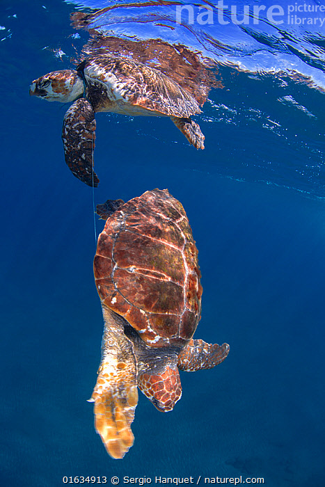 Loggerhead turtle (Caretta caretta), two tangled in nylon fishing line, one dead, the other rescued alive. Tenerife, Canary Islands., Animal,Wildlife,Vertebrate,Reptile,Testitudine,Sea turtles,Loggerhead turtle,Animalia,Animal,Wildlife,Vertebrate,Reptilia,Reptile,Chelonii,Testitudine,Cheloniidae,Sea turtles,Turtle,Caretta,Caretta caretta,Loggerhead turtle,Testudo caretta,Testudo marina,Testudo nasicornis,Tangled,Tangle,Tangles,Trapped,Dead,Two,Waste,Equipment,Fishing Equipment,Fishing Line,Fishing Lines,Man Made Material,Plastic,Plastics,Ocean,Atlantic Ocean,Environment,Environmental Issues,Environmental Damage,Fishing Industry,Fishing Industries,Marine,Underwater,Water,Temperate,Death,Atlantic Islands,Saltwater,Fisheries,Fishery,Fishing,Conservation issues,Marine Pollution,Two animals,Endangered species,threatened,Endangered, Sergio Hanquet