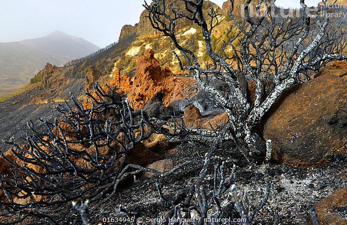 Charred remains of tree following forest fire. Teide National Park, Tenerife, Canary Islands, 2012.  ,  Damaged,Burnt,Dead,Fire,Natural Disaster,Forest Fire,Forest Fires,Landscape,Death,Dying,Atlantic Islands,Conservation issues,Wildfire,Wild fire,Wild fires,Habitat Loss,Habitat destruction,  ,  Sergio Hanquet