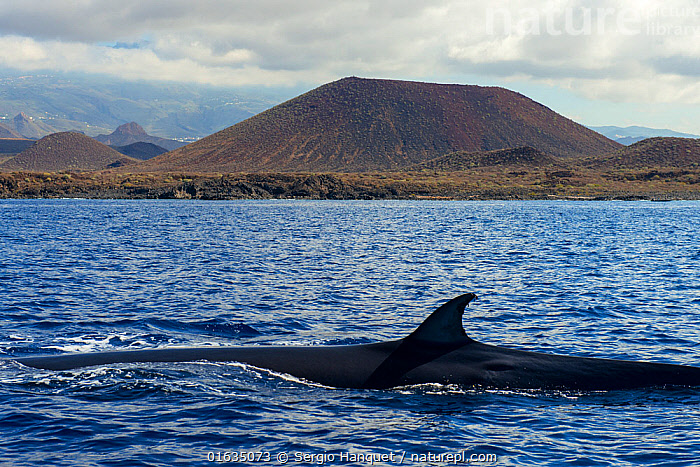 Bryde's whale (Balaenoptera brydei) fin at surface in coastal waters, volcano in background. Punta Rasca, Tenerife, Canary Islands., Animal,Wildlife,Vertebrate,Mammal,Ceteacean,Bryde&#39,s Whale,Baleen whale,Animalia,Animal,Wildlife,Vertebrate,Mammalia,Mammal,Cetacea,Ceteacean,Balaenopteridae,Balaenoptera,Bryde&#39,s Whale,Common Bryde&#39,s Whale,Fin,Fins,Dorsal Fin,Dorsal Fins,Hill,Volcano,Ocean,Atlantic Ocean,Coast,Marine,Coastal waters,Coastal,Animal Behaviour,Temperate,Geology,Volcanic features,Atlantic Islands,Behaviour,Saltwater,Surface,Behavioural,Baleen whale,Balaenoptera edeni edeni,, Sergio Hanquet