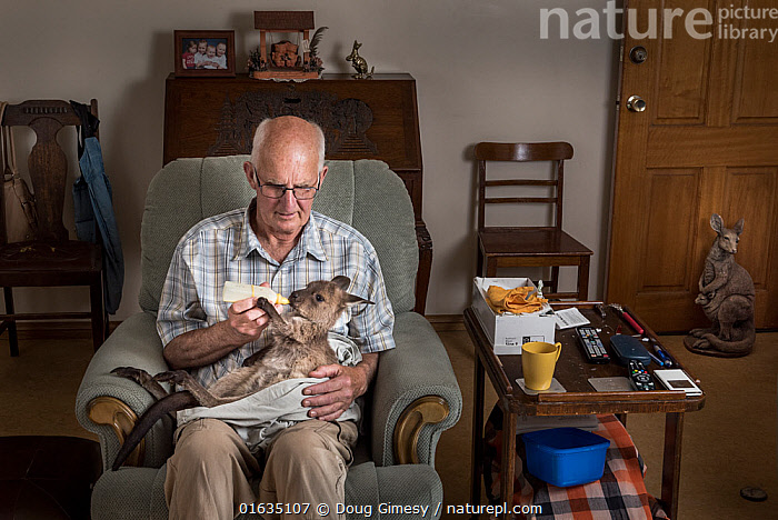 ?Wildlife rescuer, carer and member of the Kangaroo Island Wildlife Network, Des Lanthois feeding a Kangaroo Island Kangaroo (Macropus fuliginosus fuliginosus) joey found still alive in its dead mother's pouch after she was hit by a vehicle, Penneshaw, Kangaroo Island, South Australia, Australia. ?January, 2016. ?Editorial only.  ,  Animal,Wildlife,Vertebrate,Mammal,Marsupial,Macropod,Kangaroo Island Western Grey Kangaroo,Homes,Animalia,Animal,Wildlife,Vertebrate,Mammalia,Mammal,Marsupialia,Marsupial,Macropodidae,Macropod,Macropus,Macropus fuliginosus,Kangaroo Island Western Grey Kangaroo,Western Gray Kangaroo,Western Grey Kangaroo,Kangaroo,People,Man,Australasia,Australia,South Australia,Young Animal,Baby,Baby Mammal,Joey,Joeys,Building,Home Interior,Domestic Room,Living Room,Dens,Drawing Room,Drawing Rooms,Living Rooms,Lounge,Lounges,Sitting Room,Sitting Rooms,Feeding,Conservation,Animal rehabilitation,Homes,Rehabilitation,Wildlife conservation,Animal orphan,Orphan,Animal Care,Devotion,Kangaroo Island,  ,  Doug Gimesy