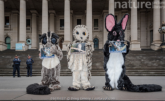 Three protesters from GECO (Goongerah Environment Centre Office) protesting against logging in East Gippsland on the steps of the Victorian Parliament??, Melbourne, Victoria, Australia. February, 2017. ?Left to right Greater glider (Petauroides volans), Powerful Owl (Ninox strenua) and Leadbeater's possum (Gymnobelideus leadbeateri). Editorial use only.  ,  People,Protestor,Demonstrater,Demonstraters,Demonstrator,Demonstrators,Protester,Protesters,Protestors,Campaign,Campaigning,Protests,Rally,Rallies,Australasia,Australia,Clothing,Dressing Up,Costume,Building,Government Building,Forestry,Natural Resources,Conservation,Direct action,Conservation issues,Demonstration,Demonstrations,Habitat Loss,Habitat destruction,  ,  Doug Gimesy
