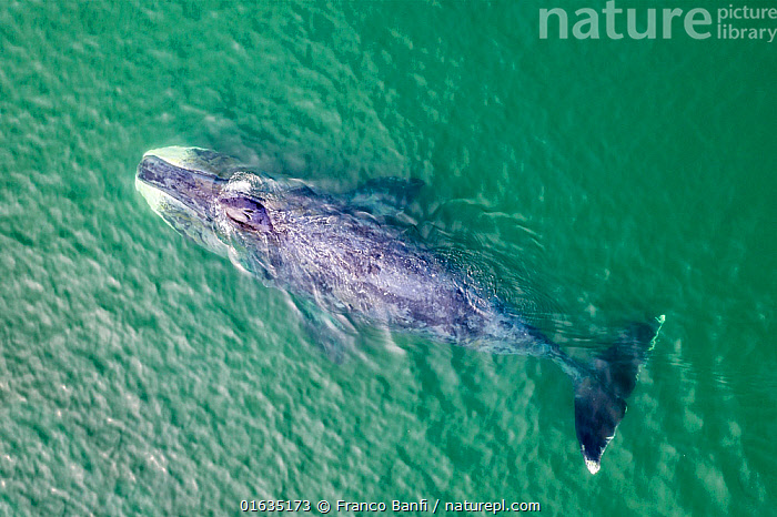 Bowhead whale (Balaena mysticetus) swimming in coastal waters, aerial view. Vrangel Bay, Primorsky Krai, Russia. August 2019., Animal,Wildlife,Vertebrate,Mammal,Ceteacean,Bowhead,Animalia,Animal,Wildlife,Vertebrate,Mammalia,Mammal,Cetacea,Ceteacean,Balaenidae,Baleen whale,Mysteceti,Balaena,Balaena mysticetus,Bowhead,Bowhead Whale,Aerial View,High Angle View,Ocean,Pacific Ocean,Sea Of Okhotsk,Marine,Water,Animal Behaviour,Temperate,Behaviour,Saltwater,Sea,Surfacing,Elevated view,Behavioural,Marine, Franco  Banfi