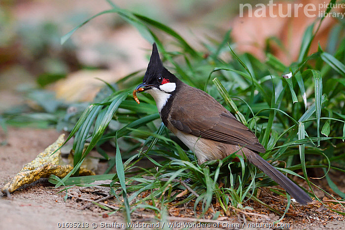 Red-whiskered bulbul (Pycnonotus jocosus) Tongbiguan Nature Reserve, Dehong, Yunnan, China  ,  Animal,Wildlife,Vertebrate,Bird,Birds,Songbird,Bulbul,Red whiskered bulbul,Animalia,Animal,Wildlife,Vertebrate,Aves,Bird,Birds,Passeriformes,Songbird,Passerine,Pycnonotidae,Bulbul,Pycnonotus,Pycnonotus jocosus,Red whiskered bulbul,Asia,East Asia,China,Yunnan Province,  ,  Staffan Widstrand / Wild Wonders of China