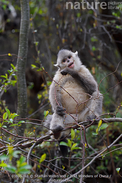 Black-and-white snub-nosed monkey (Rhinopithecus bieti) , Ta Cheng Nature Reserve, Yunnan, China  ,  Animal,Wildlife,Vertebrate,Mammal,Monkey,Snub nosed monkeys,Black Snub-nosed Monkey,Animalia,Animal,Wildlife,Vertebrate,Mammalia,Mammal,Primate,Primates,Cercopithecidae,Monkey,Old World Monkeys,Rhinopithecus,Snub nosed monkeys,Rhinopithecus bieti,Black Snub-nosed Monkey,Yunnan Snub-nosed Monkey,Asia,East Asia,China,Yunnan Province,Endangered species,threatened,Endangered  ,  Staffan Widstrand / Wild Wonders of China