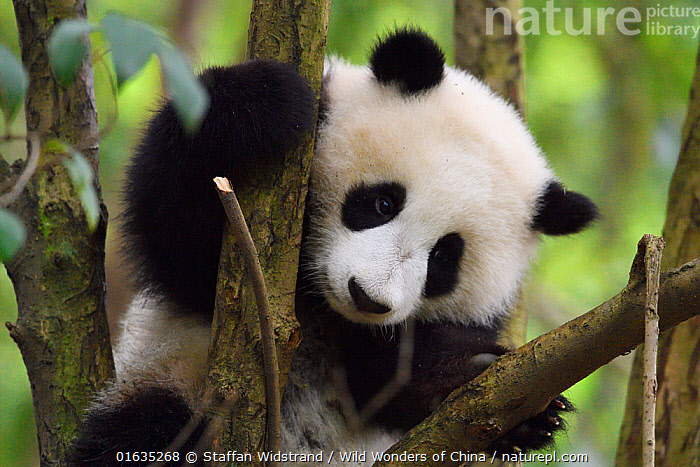 Giant panda (Ailuropoda melanoleuca) cub in tree, Chengdu Panda Breeding Centre, Sichuan, China. Captive, Animal,Wildlife,Vertebrate,Mammal,Carnivore,Bear,Giant panda,Animalia,Animal,Wildlife,Vertebrate,Mammalia,Mammal,Carnivora,Carnivore,Ursidae,Bear,Ailuropoda,Ailuropoda melanoleuca,Giant panda,Asia,East Asia,China,Young Animal,Baby,Baby Mammal,Cub,Plant,Tree,Sichuan Province,Sichuan,Catalogue13,Endangered species,threatened,Endangered,Catalogue13, Staffan Widstrand / Wild Wonders of China