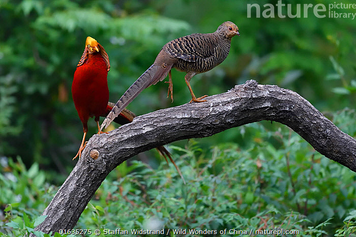 Golden pheasant (Chrysolophus pictus) male and female, Yangxian nature reserve, Shaanxi, China, Animal,Wildlife,Vertebrate,Bird,Birds,Pheasant,Golden pheasant,Animalia,Animal,Wildlife,Vertebrate,Aves,Bird,Birds,Galliformes,Galliforms,Galloanserae,Phasianidae,Chrysolophus,Pheasant,Phasianinae,Chrysolophus pictus,Golden pheasant,Two,Asia,East Asia,China,Reserve,Male female pair,Protected area,Gamebird,Gamebirds,Game bird, Staffan Widstrand / Wild Wonders of China