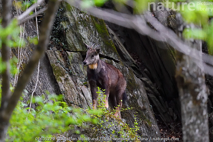 Chinese goral (Naemorhedus griseus) Tangjiahe Nature Reserve, Sichuan, China  ,  Animal,Wildlife,Vertebrate,Mammal,Bovid,Goral,Chinese Goral,Animalia,Animal,Wildlife,Vertebrate,Mammalia,Mammal,Artiodactyla,Even-toed ungulates,Bovidae,Bovid,ruminantia,Ruminant,Naemorhedus,Goral,Asia,East Asia,China,Reserve,Protected area,Sichuan Province,Naemorhedus griseus,Chinese Goral,Sichuan,Vulnerable,Endangered species,Threatened  ,  Staffan Widstrand / Wild Wonders of China