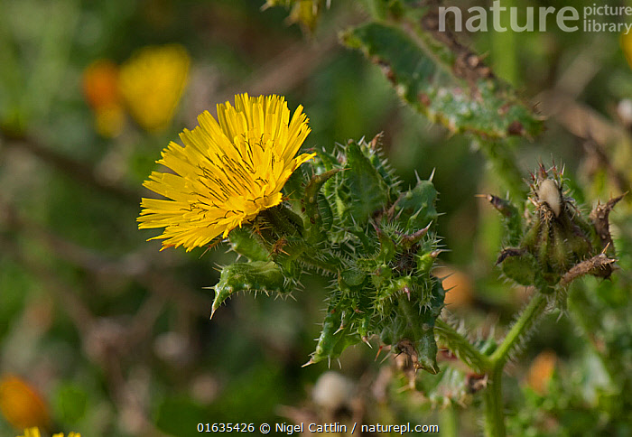 Bristly oxtongue (Helminthotheca echioides). Chesil Beach, Dorset, England, UK. October., plant,flower,flowers,flowering,yellow,,,Plant,Vascular plant,Flowering plant,Asterid,Bristly ox tongue,Plantae,Plant,Tracheophyta,Vascular plant,Magnoliopsida,Flowering plant,Angiosperm,Seed plant,Spermatophyte,Spermatophytina,Angiospermae,Asterales,Asterid,Dicot,Dicotyledon,Asteranae,Asteraceae,Compositae,Helminthotheca,Helminthotheca echioides,Bristly ox tongue,Bristly oxtongue,Picris echioides,Crepis echioides,Helminthia echioides,Spike,Spiked,Spikes,Spikey,Spiky,Europe,Western Europe,UK,Great Britain,England,Dorset,Rock,Prickly,Shingle,, Nigel Cattlin