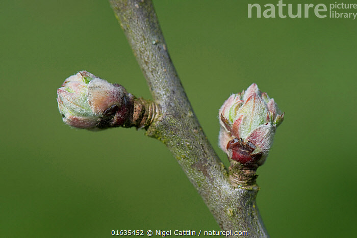 Apple (Malus domestica) buds swelling prior to leaves and flowers emerging in spring. Berkshire, England, UK. April.  ,  buds,apple,bud,tree,fruit,swell,swelling,burst,bursting,leaf,leaves,malus,domestica,rosaceae,leaf,leaves,flower,flowers,branch,twig,,Plant,Vascular plant,Flowering plant,Rosid,Apple,Cultivated apple tree,Plantae,Plant,Tracheophyta,Vascular plant,Magnoliopsida,Flowering plant,Angiosperm,Seed plant,Spermatophyte,Spermatophytina,Angiospermae,Rosales,Rosid,Dicot,Dicotyledon,Rosanae,Rosaceae,Malus,Apple,Apple tree,Malus domestica,Cultivated apple tree,Pyrus malus var. mitis,Malus sylvestris orientalis,Europe,Western Europe,UK,Great Britain,England,Berkshire,Edible,Fruit,Fruits,Tree,Trees  ,  Nigel Cattlin