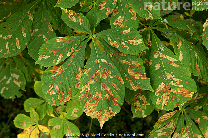 Horse chestnut leaf miner (Cameraria ohridella) larval damage to Horse chestnut (Aesculus hippocastanum) leaves. Berkshire, England, UK. August.  ,  horse,chestnut,leaf,miner,camararia,ohridella,insect,insecta,lepidoptera,gracillariidae,larva,larval,damage,mines,leaf,leaves,conker,tree,aesculus,hippocastanum,damaged,pest,premature,synescence,fall,berkshire,england,uk,august,,Plant,Vascular plant,Flowering plant,Rosid,Soapberry,Horse chestnut tree,Animal,Wildlife,Arthropod,Insect,Blotch leaf miner moth,Lithocolletinae,Horse chestnut leaf miner,Plantae,Plant,Tracheophyta,Vascular plant,Magnoliopsida,Flowering plant,Angiosperm,Seed plant,Spermatophyte,Spermatophytina,Angiospermae,Sapindales,Rosid,Dicot,Dicotyledon,Rosanae,Sapindaceae,Soapberry,Aesculus,Aesculus hippocastanum,Horse chestnut tree,Conker tree,Aesculus asplenifolia,Aesculus procera,Hippocastanum vulgare,Animalia,Animal,Wildlife,Hexapoda,Arthropod,Invertebrate,Hexapod,Arthropoda,Insecta,Insect,Lepidoptera,Lepidopterans,Gracillariidae,Blotch leaf miner moth,Leaf miner,Leafminer,Moth,Micromoth,Micro moth,Heteroneura,Gracillarioidea,Cameraria,Lithocolletinae,Cameraria ohridella,Horse chestnut leaf miner,Horse chestnut leafminer,Horsechestnut leafminer,Damaged,Europe,Western Europe,UK,Great Britain,England,Berkshire,Leaf,Foliage,Pests,Tree,Infestation,Disease,Diseases  ,  Nigel Cattlin