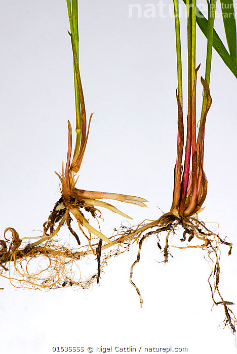 Common couch grass (Elymus repens) stems, shoots and rhizomatous roots, white background.  ,  Plant,Vascular plant,Flowering plant,Monocot,Grass,Wildrye,Plantae,Plant,Tracheophyta,Vascular plant,Magnoliopsida,Flowering plant,Angiosperm,Seed plant,Spermatophyte,Spermatophytina,Angiospermae,Poales,Monocot,Monocotyledon,Lilianae,Poaceae,Grass,True grass,Gramineae,Elymus,Wildrye,Wild rye,Wheatgrass,Plain Background,White Background,Root,Indoors,Studio Shot,Elymus repens,Couch grass,Twitch grass,  ,  Nigel Cattlin