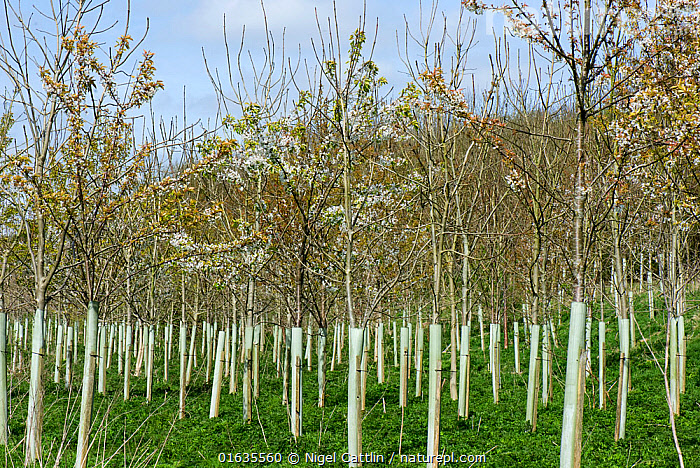Plantation of young trees including Wild cherry (Prunus avium) and Ash (Fraxinus excelsior) with tree guards, trees to be used in woodland. Berkshire, England, UK. April.  ,  Plant,Vascular plant,Flowering plant,Rosid,Stone fruit,Sweet cherry tree,Asterid,Ash tree,European ash tree,Plantae,Plant,Tracheophyta,Vascular plant,Magnoliopsida,Flowering plant,Angiosperm,Seed plant,Spermatophyte,Spermatophytina,Angiospermae,Rosales,Rosid,Dicot,Dicotyledon,Rosanae,Rosaceae,Prunus,Stone fruit,Prunus avium,Sweet cherry tree,Wild cherry,Bird cherry,Gean,Cerasus avium,Lamiales,Asterid,Asteranae,Oleaceae,Fraxinus,Ash tree,Ash,Fraxinus excelsior,European ash tree,Common ash,Europe,Western Europe,UK,Great Britain,England,Berkshire,Sapling,Saplings,Tree,Forestry,Woodland,Forest,Catalogue13,Edible,Fruit,Fruits,Tree,Trees,Catalogue13  ,  Nigel Cattlin