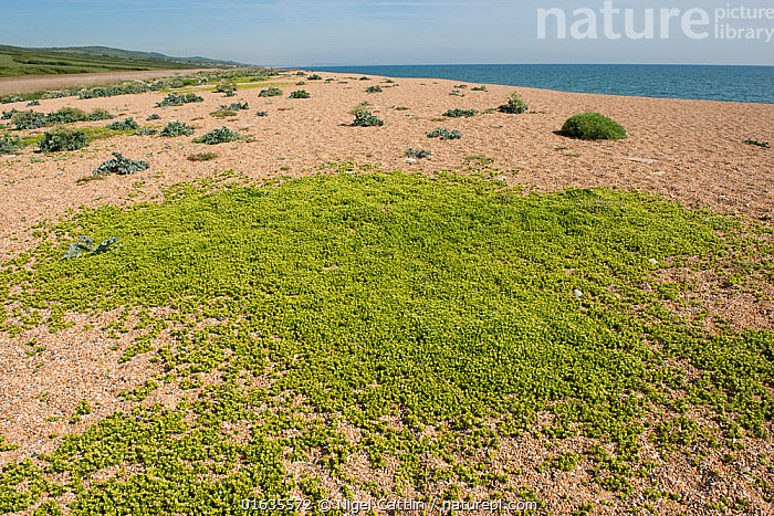 English stonecrop (Sedum anglicum), mat of plants on shingle with Sea kale (Crambe maritima) in background, Chesil Beach, Dorset, England, UK. May., Plant,Vascular plant,Flowering plant,Dicot,Orpin,English stonecrop,Plantae,Plant,Tracheophyta,Vascular plant,Magnoliopsida,Flowering plant,Angiosperm,Seed plant,Spermatophyte,Spermatophytina,Angiospermae,Saxifragales,Dicot,Dicotyledon,Saxifraganae,Crassulaceae,Orpin,Stonecrop,Sedum,Sedum anglicum,English stonecrop,Europe,Western Europe,UK,Great Britain,England,Dorset,Rock,English Channel,The English Channel,Coast,Marine,Coastal,Water,Saltwater,Sea,Shingle,, Nigel Cattlin
